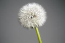 Intact Dandelion Seed Head Clo...