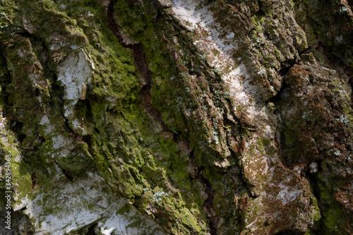 Fototapeta birch tree bark detail macro bříza Betula pendula