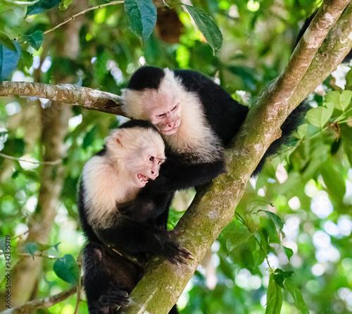 capuchin monkeys fighting in the trees in manuel antonio national park costa ric Billede på lærred