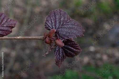 hazelnut red leaved tree young leaves cervena líska listy Corylus avellana Fototapet