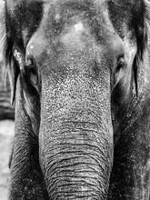 Indian Elephant - Close-up Por...