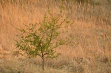 Drzewo Rosnące Nieopodal Pustyni Błędowskiej.