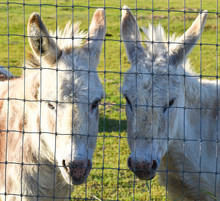 Adorable Pair Of Pretty Miniature Donkeys In Ranch Pasture