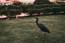 Black Egyptian Bird Walks On A Green Lawn With Bushes And Flowers. The Hotel Area In Egypt With Palm Trees And Beautiful Green Flower Beds. Unusual Birds Abroad. Shore Of Red Sea In Sharm El Sheikh