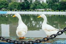Two White Ducks Stand Next To ...