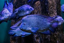 Blue Fish Swimming In Water