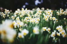 White Daffodil Flowers Blooming On Field