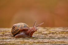 Helix Pomatia, Common Names Roman Snail, Burgundy Snail, Edible Snail Or Escargot, Is Species Of Large, Edible, Air-breathing Land Snail, Terrestrial Pulmonate Gastropod Mollusk In Family Helicidae.