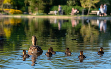 Newly Born Ducklings In The Lake At Pinner Memorial Park, Pinner, Middlesex, North West London UK, Photographed On A Sunny Spring Day.