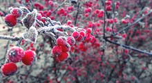 Close-up Of Winterberry Holly