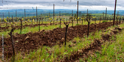 Photo Rows of grapevines in an Oregon vineyard in spring lead across this view, blue hills in the distance, tilled soil between rows, new leaves on trellised vines