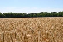 Alabama Wheat 2020 I