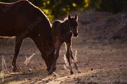 Yegua y su potrillo, caballos Canvas Print