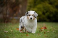 Puppy Australian Shepherd Play...