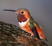 Close-up Of Allen Hummingbird Perching On Rock