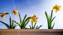 Low Angle View Of Yellow Daffodils Blooming Against Sky