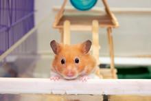 Hamster 10