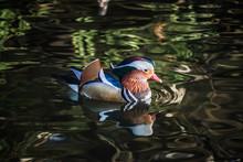 Close-up Of Mandarin Duck Swimming In Lake