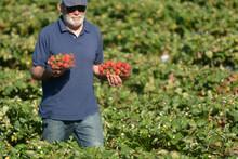 Strawberry Farmer Carrying Box...