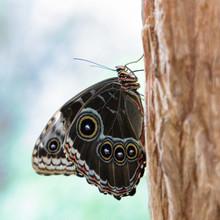 Blue Morpho Butterfly Resting ...
