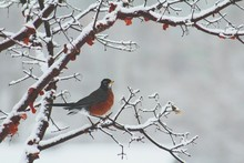 Close-up Of American Robin Perching On Frozen Bare Tree During Winter