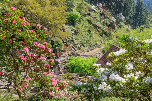 Fényképezés しゃくなげ 裏見の滝自然花宛 長崎県大村市 Rhododendron Nagasaki Oomura City