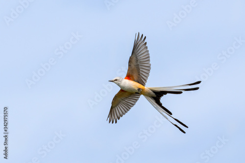 The scissor tailed flycatcher (Tyrannus forficatus) in flight Wallpaper Mural