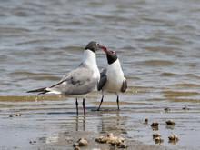 The Couple Of Laughing Gulls (Leucophaeus Atricilla) Performing Mating Ritual, Galveston, Texas