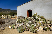 Agave Plants By House On Sunny Day