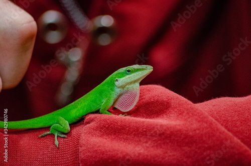 Photo Green anole