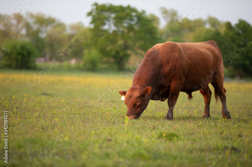 Red Angus Cattle Canvas Print