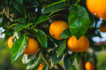 Panel Szklany Owoce Branch of orange tree with ripe fruits close up