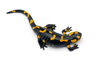 The Fire Salamander Isolated O...
