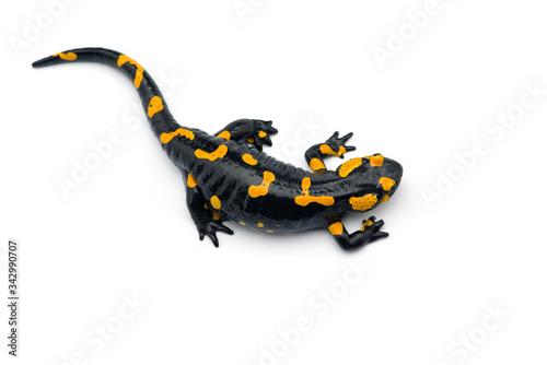 Fototapeta The fire salamander isolated on white background