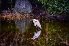 Great Blue Heron With Reflection In Lake