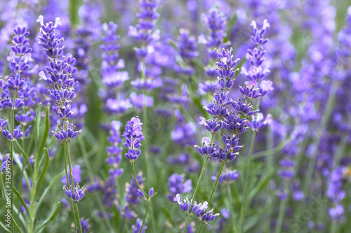 Photo Provence - lavender field