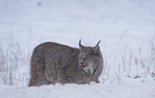Canadian Lynx Crouching Beside Kill