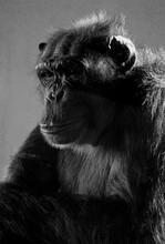 Close-up Portrait Of Gorilla In Captivity
