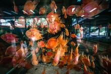 Blood Parrot Cichlid In Fish Tank At Aquarium