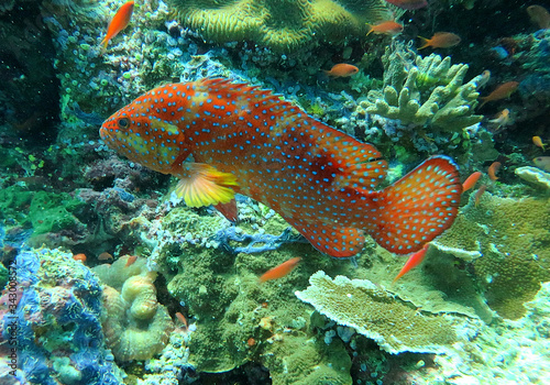 Photo Coral hind cruising a reef  in tropical waters