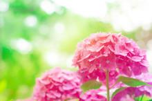 鮮やかなピンクの紫陽...