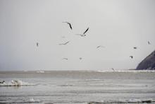 Many Black-headed Gulls Fly Ov...