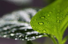 Green Leaf In Water Drops After Rain In A Blurred Environmen