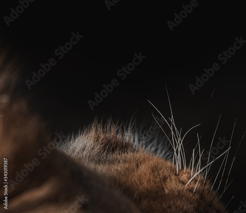 Photo Wildlife photography or images of African Wild Lion from Masai Mara, Kenya