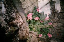 Pink Periwinkles Seen Through Chainlink Fence