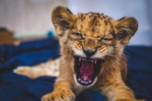 Photo Of A Small Growling Lion...