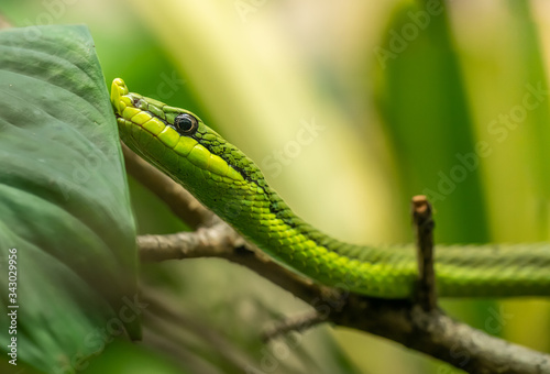 portrait of green tree snake Baron's green racer (Philodryas baroni) Canvas-taulu
