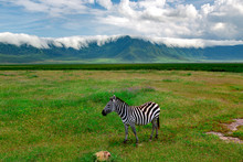 Lonely Zebra Grazes On Lush Me...