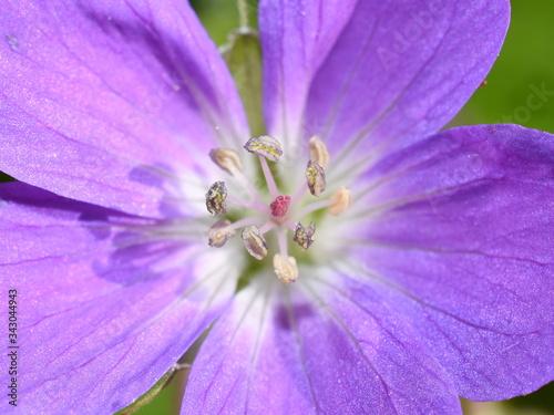 Photo Closeup on anthers and stigma on purple woddland geranium cranesbill flower
