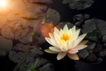 Beautiful White Lotus Flowers ...